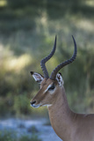Portrait of a Male Impala Photographic Print by Bob Smith