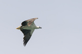 A White-Bellied Sea Eagle in Flight Photographic Print by Jeff Mauritzen