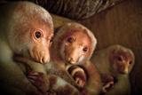 A Trio of Common Spotted Cuscus Photographic Print by Greg Davis