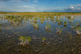 Panoramic of Red Mangrove Trees Standing over Sawgrass and Needle Rush Photographic Print by Carlton Ward