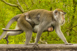A Long-Tailed or Crab-Eating Macaque, Macaca Fascicularis, Carrying Her Baby on Her Chest Photographic Print by Ralph Lee Hopkins