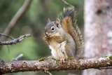 An American Red Squirrel, Tamiasciurus Hudsonicus, Nibbles on a Nut Photographic Print by Robbie George
