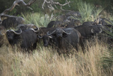 A Herd of Cape Buffalo Photographic Print by Bob Smith