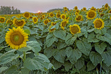 The Sun Sets Behind a Field of Sunflowers in Northern North Dakota Photographic Print by Gordon Wiltsie