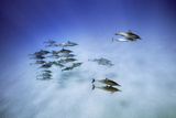 Spinner Dolphins, Stenella Longirostris, Return from Foraging to a Bay Off Oahu, Hawaii Photographic Print by Brian J. Skerry