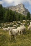 Sheep on the Road to Forcella Valmaggiore Reprodukcja zdjęcia autor Ulla Lohmann