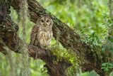 A Barred Owl Perches in a Live Oak Tree at Camp Lonesome Ranch in Northern Osceola County Photographic Print by Carlton Ward