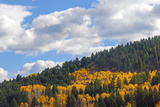 Fall-Colored Aspens Glow Amid a Douglas Fir Forest in the Gallatin Range Near Bozeman, Montana Photographic Print by Gordon Wiltsie