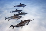 Spinner Dolphins, Stenella Longirostris, Swim in Waters Off Kona, Hawaii Photographic Print by Brian J. Skerry