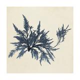 Coastal Seaweed VII Premium Giclee Print by  Vision Studio
