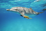 An Atlantic Spotted Dolphin Swims in the Waters Off Bimini in the Bahamas Photographic Print by Brian J. Skerry