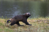 Portrait of a Wolverine, Gulo Gulo, Running in the Rain Photographic Print by Sergio Pitamitz