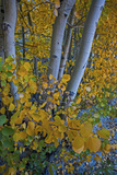 Fall Colored Aspens in Bishop Creek Canyon in the Eastern Sierra Nevada Near Bishop, California Photographic Print by Gordon Wiltsie