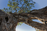Low Angle of Two Intertwining Trees Photographic Print by Beverly Joubert