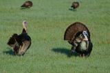 A Pair of Turkeys at Lake X Ranch Photographic Print by Carlton Ward