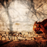 A Cow Tied Up Outside a Small Farmhouse in Rural China Photographic Print by Sean Gallagher