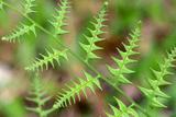 Close Up of Unfurling Fern Fronds, Possibly Osmunda Species Photographic Print by Darlyne A. Murawski