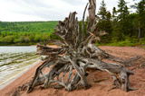 Large Driftwood Tree on the Warren Lake Beach, in Cape Breton Highlands National Park Photographic Print by Darlyne A. Murawski