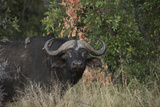 Oxpeckers on the Back of a Cape Buffalo Photographic Print by Bob Smith