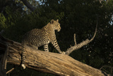 A Female Leopard in a Tree Photographic Print by Bob Smith