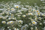 Oxeye Daisies, Leucanthemum Vulgare, an Introduced Species, Crowd a Meadow Near Big Sky, Montana Photographic Print by Gordon Wiltsie