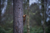A Red Squirrel Climbing a Pine Tree in the Cairngorms National Park Photographic Print by Alex Treadway