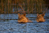 Two Lionesses Swimming across a Spillway at Sunset Photographic Print by Beverly Joubert