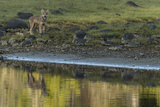 A Coastal Wolf Pup on Vancouver Island Photographic Print by Cristina Mittermeier