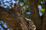 A Leopard Cub Resting in a Tree Photographic Print by Beverly Joubert