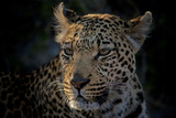 Close Up Portrait of a Leopard Photographic Print by Beverly Joubert