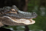 A Young Alligator Finds Refuge Among the Still Waters of the Upper Suwannee River Photographic Print by Carlton Ward