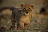Close Up Portrait of a Lion Cub Photographic Print by Beverly Joubert