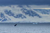 A Humpback Whale Exhibiting Breaching Behavior Near Cuverville Island, Antarctica Photographic Print by Ralph Lee Hopkins