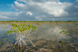 Red Mangrove Trees Stand over Sawgrass and Needle Rush Photographic Print by Carlton Ward