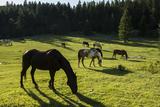 Auf einem Feld grasende Pferde Fotodruck von Ami Vitale