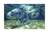 Permit on Flats, Crab, Chub Cay Giclee Print by Stanley Meltzoff