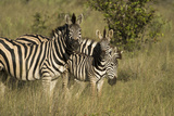 Three Burchell's Zebras in a Grassland Photographic Print by Bob Smith