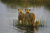 Two Lioness Crossing a Spillway with a Cub Photographic Print by Beverly Joubert