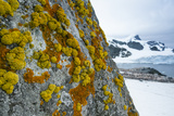Yellow and Orange Crustose Lichens on Cuverville Island, Antarctica Photographic Print by Ralph Lee Hopkins