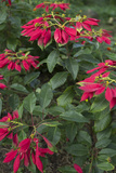 Vivid Poinsettia Plants Grow in Mudumalai Photographic Print by Kelley Miller