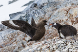 A Brown Skua Attacks a Gentoo Penguin Nest Near Port Lockroy, Antarctica Photographic Print by Ralph Lee Hopkins