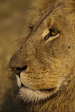 Close Up Portrait of a Male Lion Photographic Print by Beverly Joubert