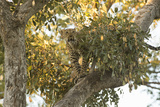 A Young Female Leopard in a Tree Top Photographic Print by Bob Smith