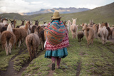 A Quechua Woman Herding Llamas, Alpacas, and Sheep Back to Town from Grazing in the Mountains Fotodruck von Erika Skogg