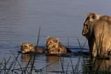 A Lioness Watching Cubs Swimming Back to Land Fotografisk trykk av Beverly Joubert