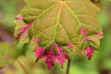 Reddish Pink Erineum Galls, Made by Eriophyid Mites, on a Sugar Maple Leaf, Acer Saccharum Photographic Print by Darlyne A. Murawski