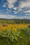 Arrowleaf Balsamroot, Lupines and Other Wildflowers Bloom, Southern Bridger Mountains, Montana Photographic Print by Gordon Wiltsie