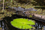 A Juvenile Crocodile in Everglades National Park Photographic Print by Erika Skogg