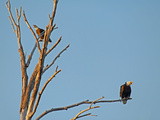 Bald Eagles, Haliaeetus Leucocephalus, Perch in a Dead Tree in the Gallatin Valley Near Bozeman Photographic Print by Gordon Wiltsie