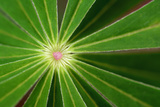 Close Up of the Center of a Whorl of Leaves on a Lupine Plant Photographic Print by Darlyne A. Murawski